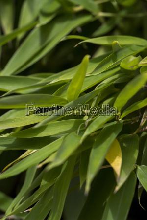closeup of bamboo ornamental bamboo against