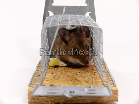 caught alive mouse