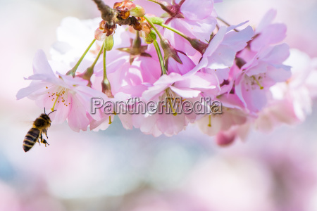 flying bee and pink cherry blossoms