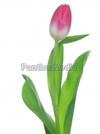 one tulip on isolated background with