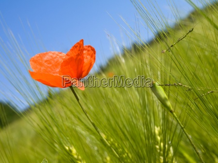 bright red poppy stands out among