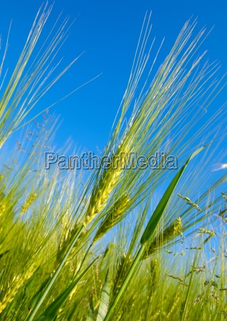 wheat harvest on blue sky