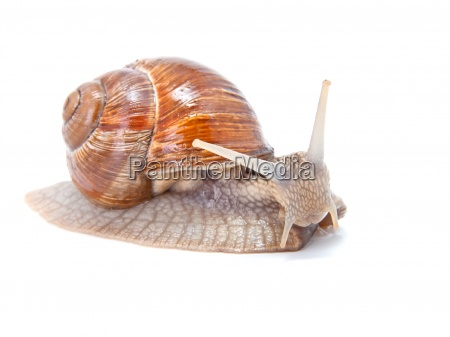the garden snail in front of