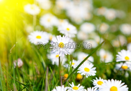 daisies in a meadow with sunlight