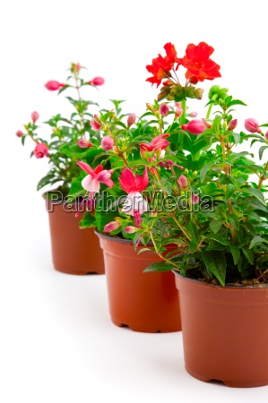 blooming fuchsia and geranium in the
