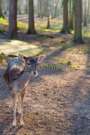 whitetail doe in a forest in