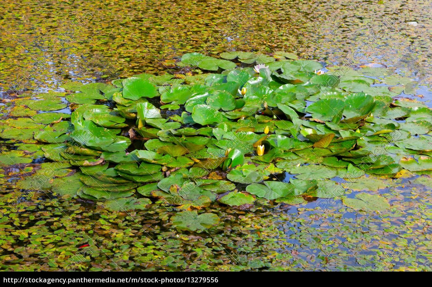 lake / pond with lotus lake / pond with lotus - Royalty free photo -  #13279556 - PantherMedia Stock Agency