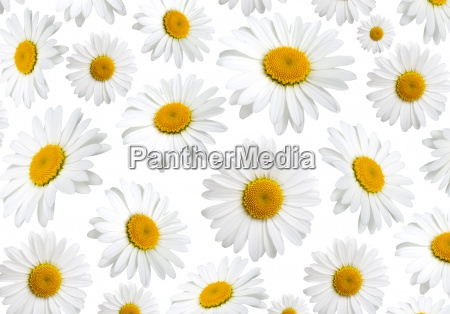 chamomile flowers texture on a white