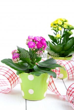 kalanchoe plant in a pot
