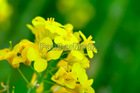 rapeseed rapa do brassica flor do