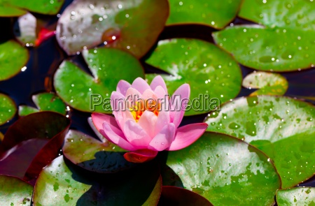 water lilies nymphaea in a pond
