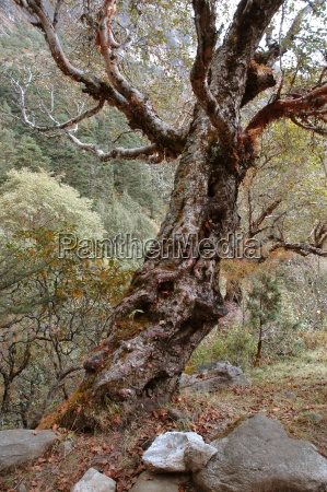 old trees in the forests of