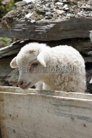 lamb on a farm in svaneti
