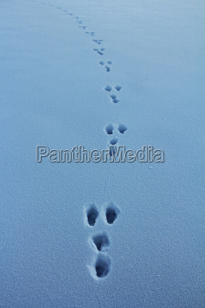 hare tracks in the snow