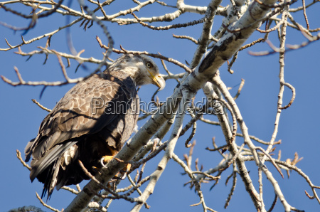 young bald eagle hunting while perched