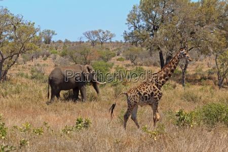 guraffe and elephant