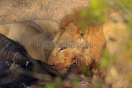 two lions at feeding