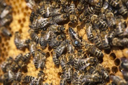 queen bee with her drones on