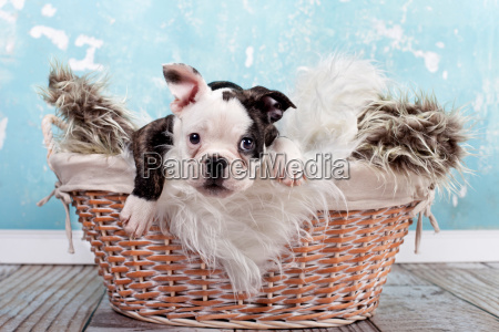 small pup in basket french bulldog