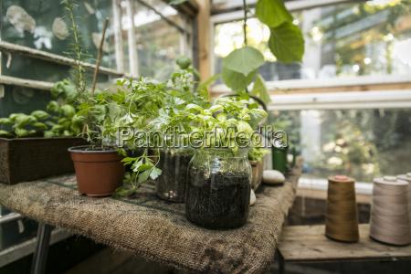 greenhouse with herbs basil pertersilie oregano