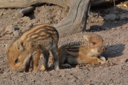 nursery in the wild boar