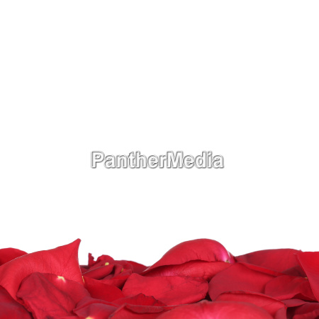 rose petals for valentines day wedding