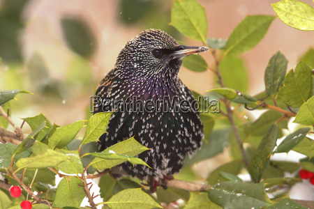 starling in a holly bush