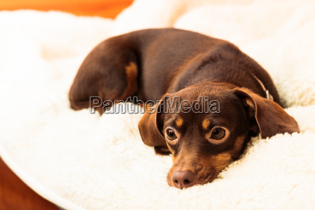 mixed dog relaxing on bed at