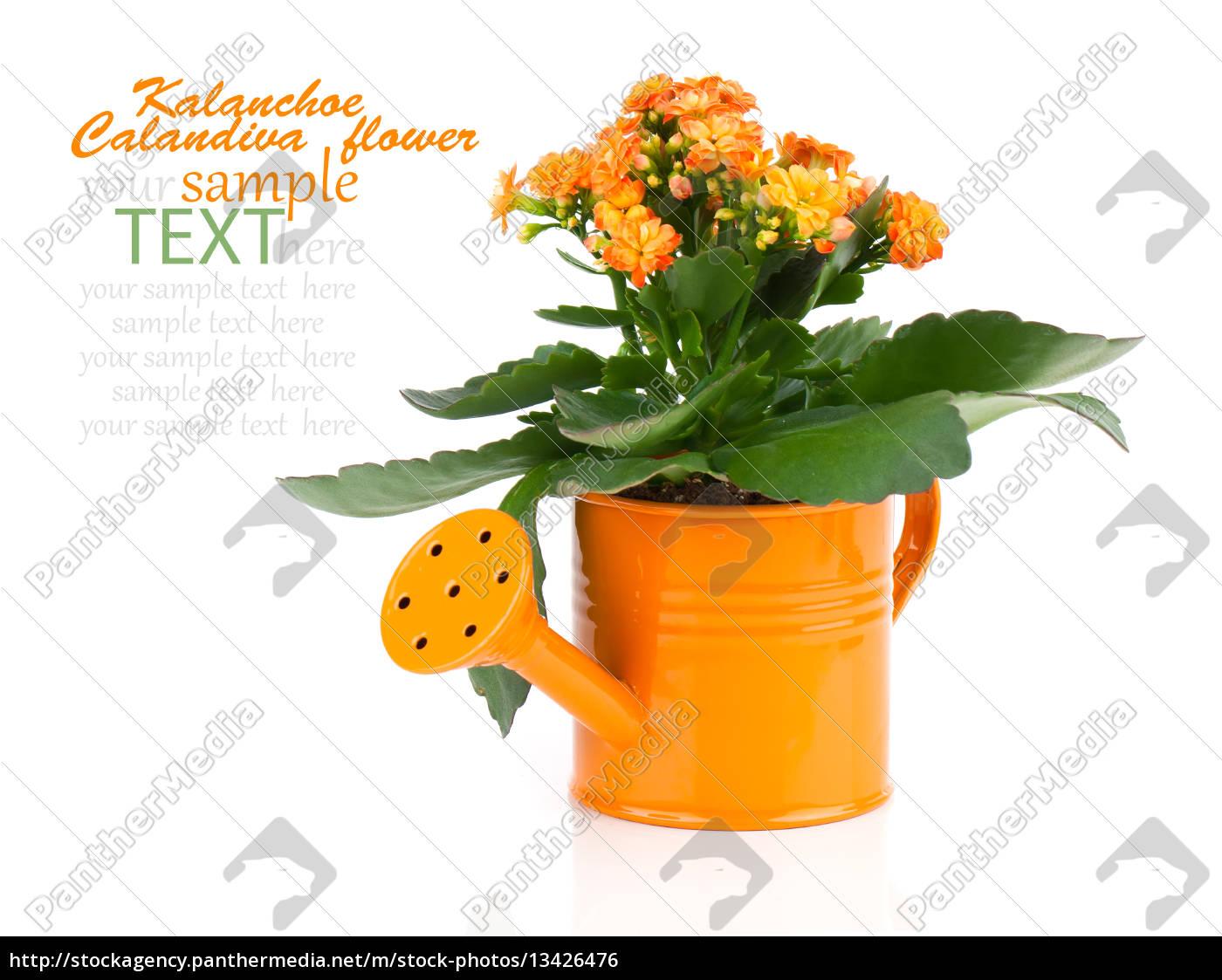 kalanchoe, flower, in, a, green, watering - 13426476