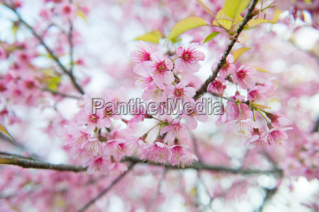 beautiful, wild, himalayan, cherry, flower - 13427820
