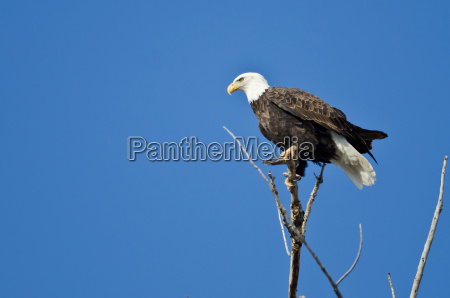 bald eagle hunting from the tree