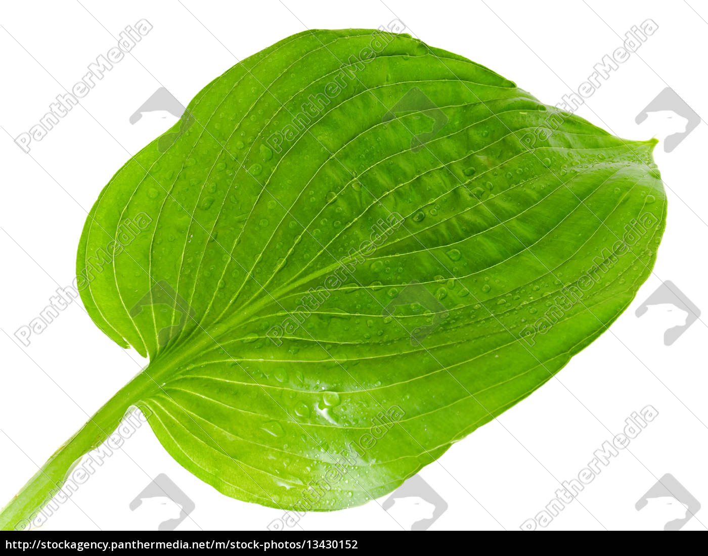 green, leaf - 13430152