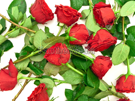 red, roses - 13430130