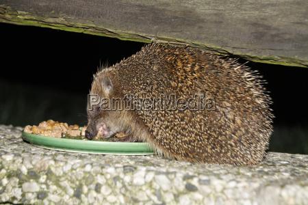 hedgehog eats cat food