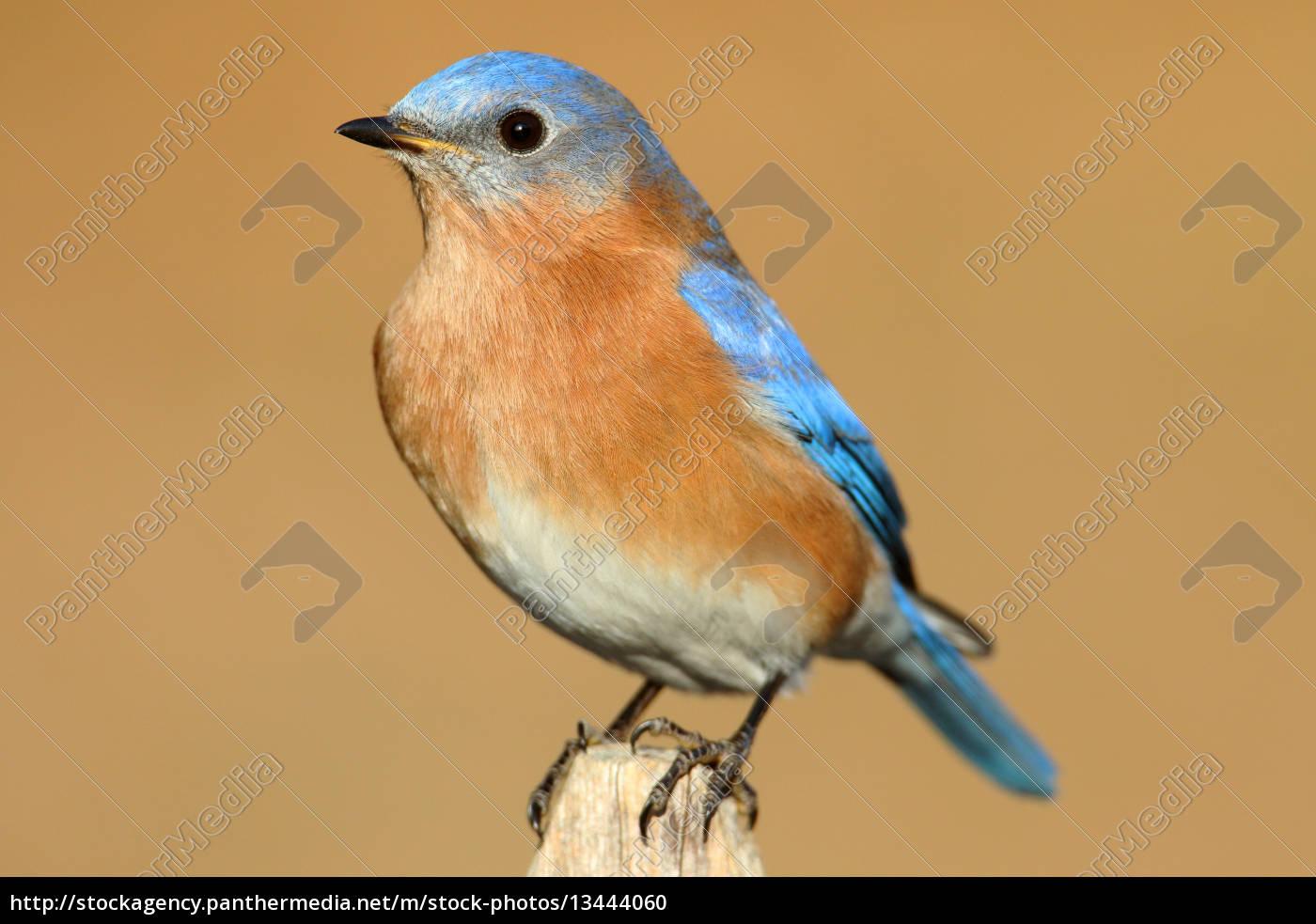 male, eastern, bluebird - 13444060
