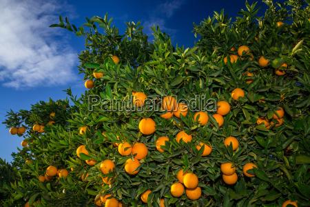 ripe oranges on orange tree in