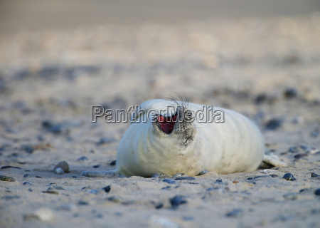 grey seal on helgoland