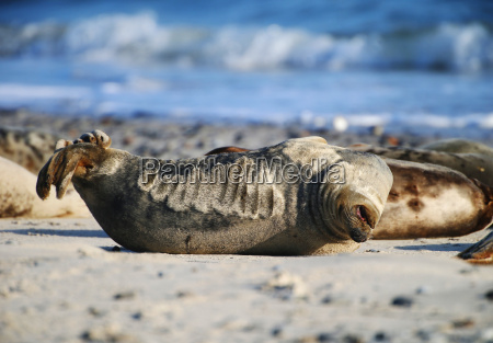 gray seal on helgoland