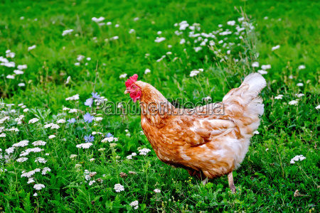 chicken, brown, on, grass, with, flowers - 13492254