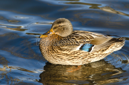 mallard duck swimming in the water