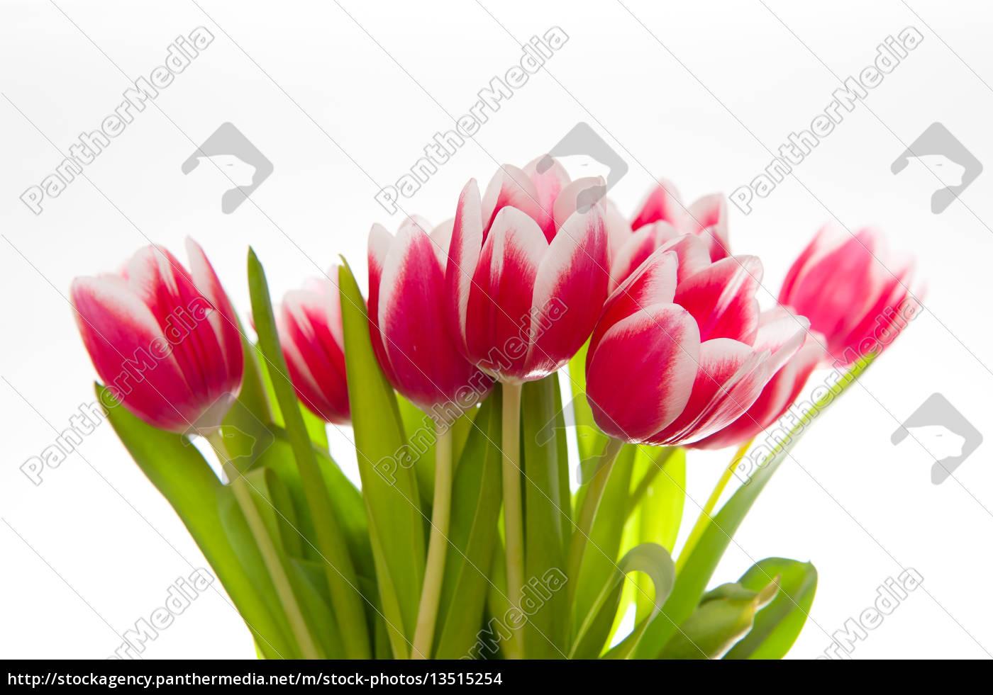 tulips, on, white, background - 13515254