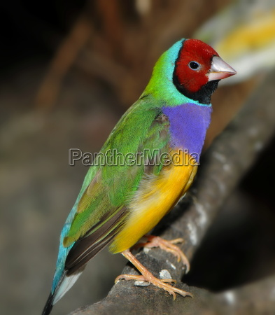 colorfully exotic finch