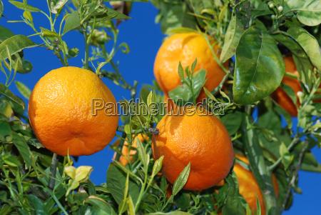 ripe oranges on the tree under