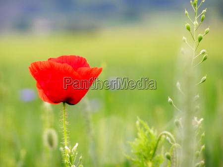 red poppy in the green field