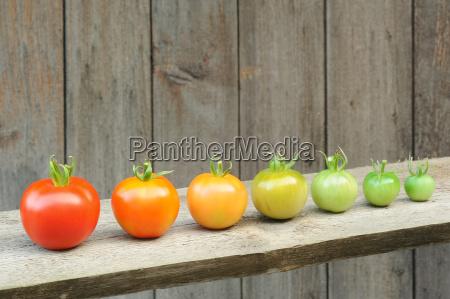 evolution of red tomato maturing