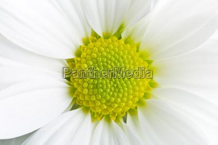 chrysanthemum, daisy - 13544042