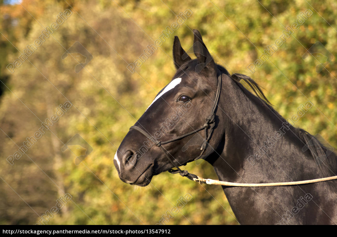 Portrait Of A Beautiful Black Stallion Royalty Free Photo 13547912 Panthermedia Stock Agency
