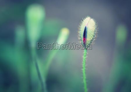beautiful, poppy, bud - 13552846