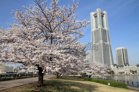 yokohama landmark tower and the cherry