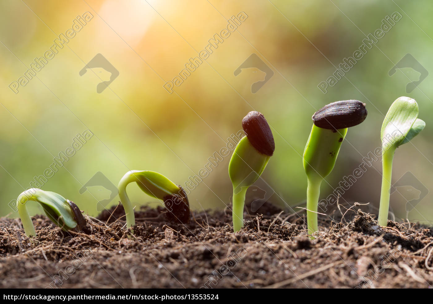 seed, root, on, soil, with, sunbeam - 13553524